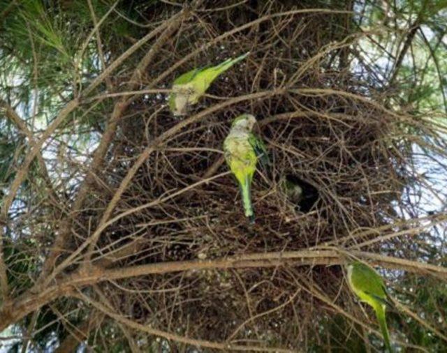 Ecologistas en Acción solicita información sobre la captura de cotorra argentina y paloma torcaz